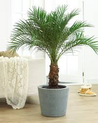 areca palm tree for adding moisture in the air during winter