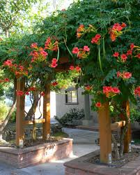 trumpet vine glory my neighbors in logan had this or something