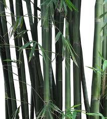 buy slender weaver s bamboo palm tree bambusa textilis gracilis