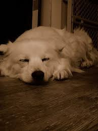 american eskimo dog tattoo 136 best american eskimo images on pinterest american eskimo dog
