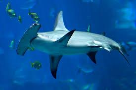 hammerhead shark facts you probably didn u0027t know shark week 2017