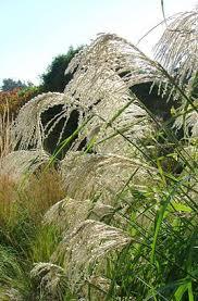148 best miscanthus images on ornamental grasses