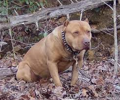 american pitbull terrier jaw american red nose pitbull terrier pitbulls pinterest red