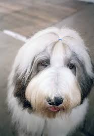 australian shepherd dogtime old english sheepdog dog breed information pictures