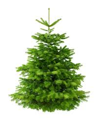 real christmas trees 8ft nordman fir low needle drop