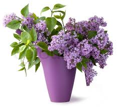 lilac flowers bouquet of lilac flower stock photo colourbox