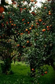 best 25 orange trees ideas on orange grove