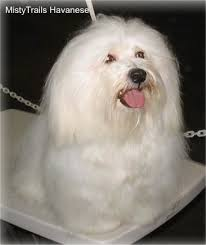 havanese vs bichon frise havanese dog breed information and pictures
