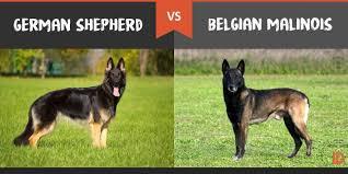 belgian malinois energy german shepherd vs belgian malinois what u0027s the difference