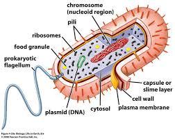 Prentice Hall Inc Science Worksheet Answers Diagram Of Prokaryotic Cells Database Wiring Diagram