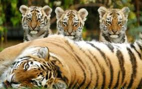siberian tiger and cubs pixdaus