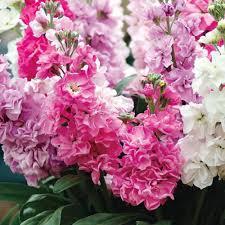 2017 30 violet seeds ornamental flower matthiola incana the