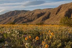 wildflowers of the desert superbloom photos u2013 pastarun music