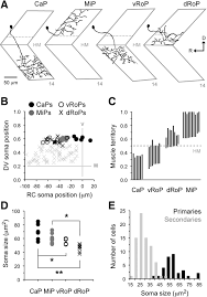 a gradient in endogenous rhythmicity and oscillatory drive matches