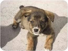 australian shepherd mixed with husky twilight u0027s alice adopted puppy brooksville fl australian