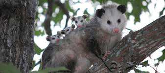 Possum In My Backyard Do Possums Carry Disease Or Parasites Abc Blog
