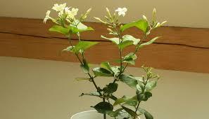 Indoor Fragrant Plants - best indoor plant smart home keeping