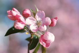 cherry blossom tree facts facts on apple blossom flowers home guides sf gate