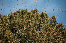 the incredible life cycle of the monarch butterfly u2013 kimcampion com