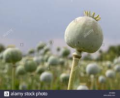 opium group stock photos u0026 opium group stock images alamy