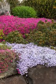 Rock Garden Perennials by Red Wings Creeping Phlox Monrovia Red Wings Creeping Phlox