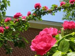 pruning climbing roses how to prune climbing roses