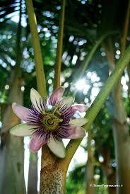 119 best passion fruit flower images on pinterest fruit flowers