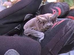 bats for sale my pet bat