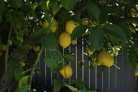 When Does A Lemon Tree Produce Fruit - post tagged gardening lana joy