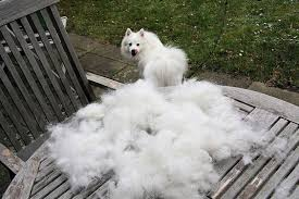 american eskimo dog facts top 10 heavy shedding dogs inside dogs world