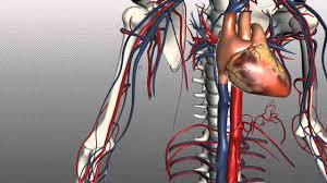 Human Body Anatomy Pics Veins Of The Body Part 1 Anatomy Tutorial Youtube