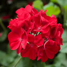 Geranium by Geranium Calliope Medium Dark Red All America Selections