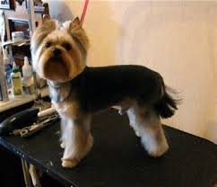 silky terrier with haircut the 25 best yorkie short haircuts ideas on pinterest yorkie
