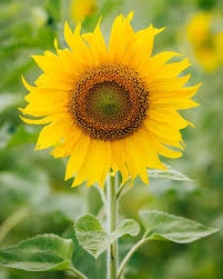 sunflower pictures history and meaning of sunflowers proflowers