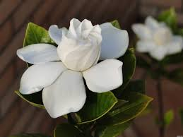 Gardenias by Kép Forrása Http Www Pxleyes Com Images Contests Name Play