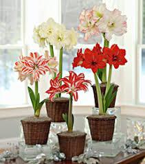 how to grow amaryllis white flower farm flower farm and bulbs