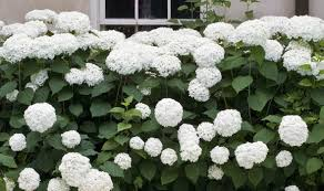 Summer Flowers For Garden - hydrangeas great for summer flowers autumn tints and winter seed