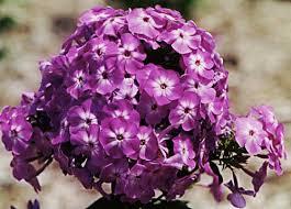 Phlox Flower Pictures Of Flowers Garden Phlox