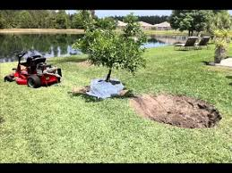 Transplant Fruit Trees - how to move a dwaf mandarin orange tree florida youtube
