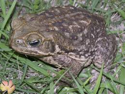 bufo toads deadly if pets or people make contact news the
