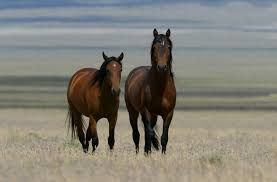 mustang horse critics maintain utah mustang meeting a u0027slaughter summit u0027 cbs