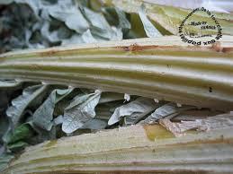 cuisiner des cardes cardes préparation conservation et idées recettes de la