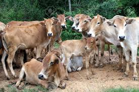 group of cows on the road near forest in shan state myanmar stock