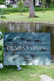 Backyard Fish Farming Tilapia The 25 Best Tilapia Farming Ideas On Pinterest Tilapia Fish