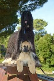 afghan hound pictures afghan hound for more photos visit dogsarena com dog breeds