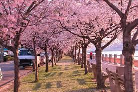 spring around the world 25 fascinating cherry blossom photos