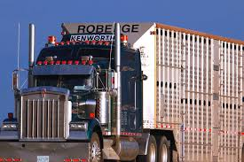 Seeking Trailer Canada Winter Transport Studied For Cattle Welfare Beef Quality