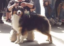 australian shepherd e bovaro del bernese australian shepherd razza cane