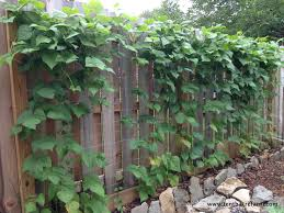 choose the right trellis for your climbing vegetables privacy
