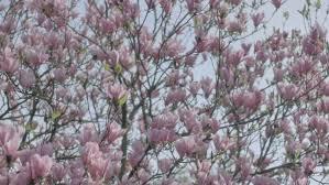 beautiful ornamental pink tulip magnolia tree stock footage